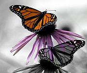 Black And White Digital Art Prints - Monarch Butterflies Print by Evelyn Patrick