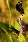 Ball Digital Art Originals - Monarch Butterflies In Spring At Wakulla Springs by Frank Feliciano