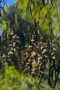 Danaus Plexippus Prints - Monarch Butterflies Overwintering In Tree Print by Bob Gibbons