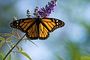 Milkweed Butterfly Posters - Monarch butterfly Poster by Carl Jackson