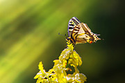 Yellow Line Prints - Monarch Butterfly Print by Carlos Caetano