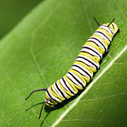 Caterpillar Posters - Monarch Butterfly Caterpillar Poster by Paul Omernik