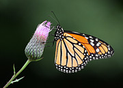Nature - Monarch Butterfly by Dale Kincaid