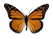 Danaus Plexippus Prints - Monarch Butterfly Print by Dr Keith Wheeler