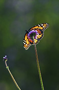 Backlit Metal Prints - Monarch butterfly Metal Print by Elena Elisseeva