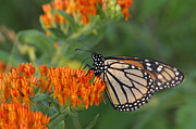 Milkweed Butterfly Posters - Monarch Butterfly feeding on Milkweed Poster by Kenneth M Highfill and Photo Researchers