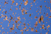 Butterfly In Flight Prints - Monarch Butterfly Frenzy Print by Ingo Arndt