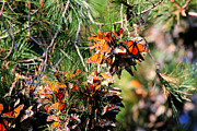 Monarch Butterfly Gathering Print by Marcia Fontes Photography