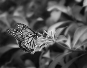 Black Originals - Monarch Butterfly In Black and White by Joseph G Holland