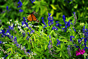 Butterfly In Flight Prints - Monarch Butterfly in Flight Print by Douglas Barnard