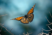 Butterfly In Motion Framed Prints - Monarch Butterfly in flight Framed Print by Stephen Dalton and Photo Researchers