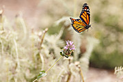 Butterfly In Flight Prints - Monarch Butterfly in Flight Print by Susan Gary