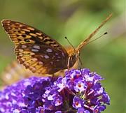Jennifer Lamanca Kaufman - Monarch Butterfly