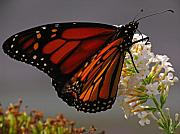 Insects Originals - Monarch Butterfly by Juergen Roth
