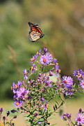Aster  Framed Prints - Monarch Butterfly Landing on Aster Framed Print by John Burk