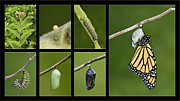 Pupa Posters - Monarch Butterfly Life Cycle - D003995 Poster by Daniel Dempster