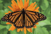 Monarch Butterfly Framed Prints - Monarch Butterfly Framed Print by Nancy Nehring