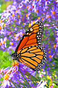 Feeding Photo Metal Prints - Monarch Butterfly Metal Print by Olivier Le Queinec