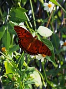 Bamhs Blair - Monarch Butterfly On...