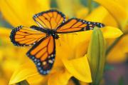 Blooms  Butterflies Photo Posters - Monarch Butterfly On Flower Poster by Don Hammond