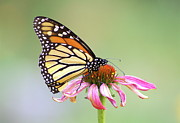 Butterfly Prints - Monarch Butterfly On Flower Print by Greg Adams Photography