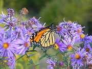 Sandy Owens - Monarch Butterfly on...