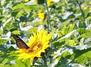 North Fork Prints - Monarch Butterfly on Sunflower Print by Kimberly Perry