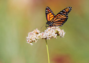 Butterfly Prints - Monarch Butterfly Perched On Wildflower Print by Susan Gary