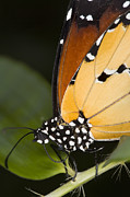 Danaus Plexippus Prints - Monarch Butterfly Print by Power And Syred