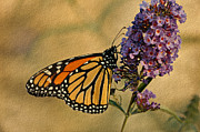 Insect On Flower Art - Monarch Butterfly by Sandy Keeton