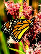 Butterfly On Flower Prints - Monarch Butterfly Print by Tam Graff