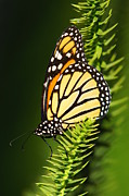 Spotted Metal Prints - Monarch Butterfly Metal Print by The Photography Factory