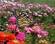 D Winston - Monarch Butterfly...