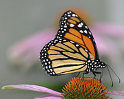 Flower Head Prints - Monarch Butterfly Print by Wind Home Photography