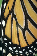 Danaus Plexippus Prints - Monarch Butterfly Wing Detail Print by David Aubrey