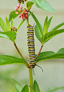 Steve Augustin - Monarch Caterpillar and...