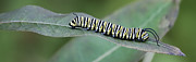 Milkweed Posters - Monarch Caterpillar Poster by Randy Bodkins