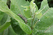 Swamp Milkweed Framed Prints - Monarch Caterpillar Framed Print by Ted Kinsman