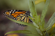 Monarch Photos - Monarch Desperation by DigiArt Diaries by Vicky Browning