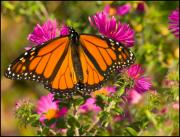 Chris Lord Metal Prints - Monarch Feeding Metal Print by Chris Lord