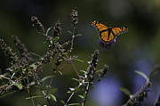 Floral Photographs Posters - Monarch in Morning Light Poster by Rob Travis