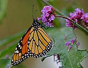 Insects Photo Originals - Monarch in the Rain by Peter Gray