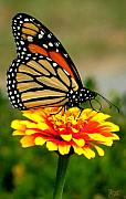 Insect On Flower Art - Monarch by Jeff Breiman