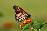  Large Format Prints - Monarch Print by Joseph Placheril