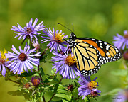 March Photos - Monarch March  by Diane E Berry