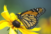 Mgp Photography Framed Prints - Monarch Framed Print by Michael Peychich