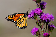 Blooms  Butterflies Photo Posters - Monarch Poster by Mircea Costina Photography