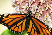 Michigan Posters - Monarch on Milkweed 5 Poster by Scott Hovind