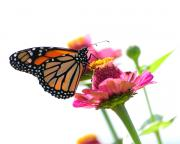 Cone Flower Prints - Monarch on White Print by Edward Sobuta