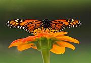 Rain Photo Originals - Monarch Orange by Peter Gray